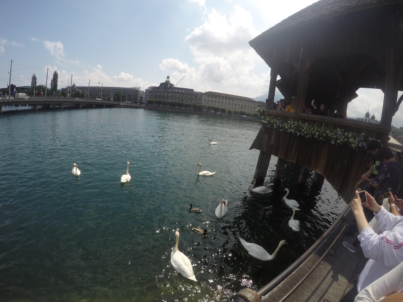 Swan and duck feeding!!!