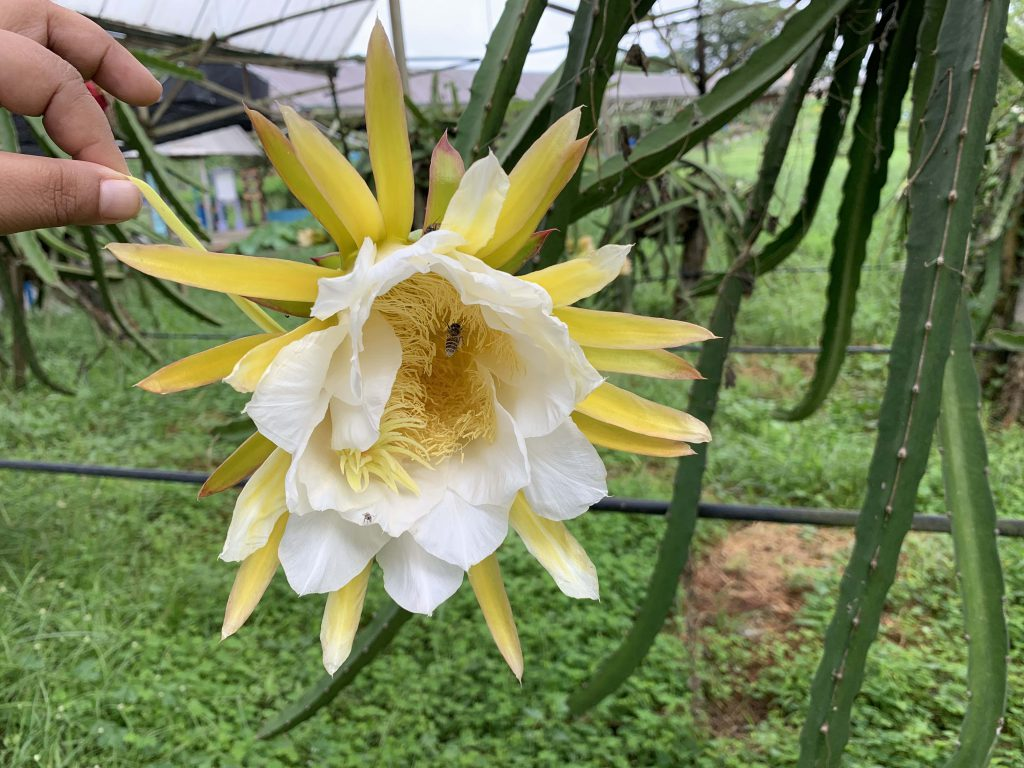 Dragonfruit flower! Do you know that if the leave is concave, the colour of the flesh will be red and if convex flesh would be white? Wow!