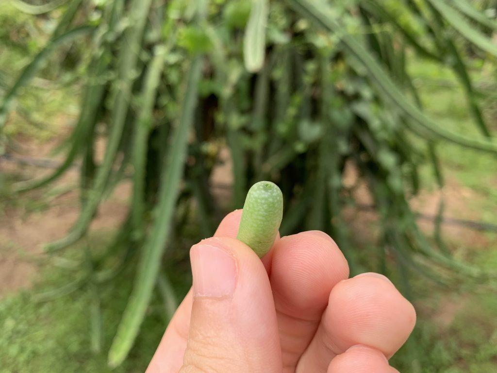 Nano Cucumber!