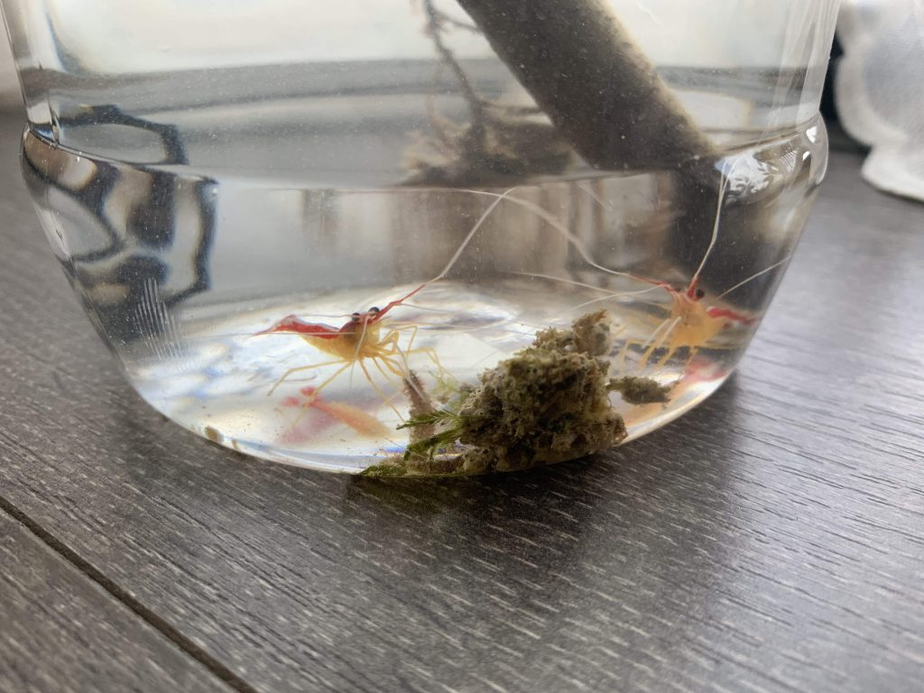 Trying to reduce screen time so created an Eco Sphere inspired semi closed system with the sea water and algae growing off the boat, surprised to find so much life in that scoop of sea water! Thanks Dad for the shrimps!